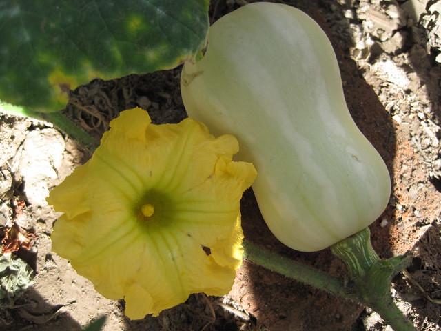 Calabaza & Flor