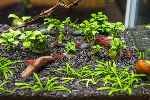 Colony of Red Cherry Shrimp in a Fluval Spec V Aquarium