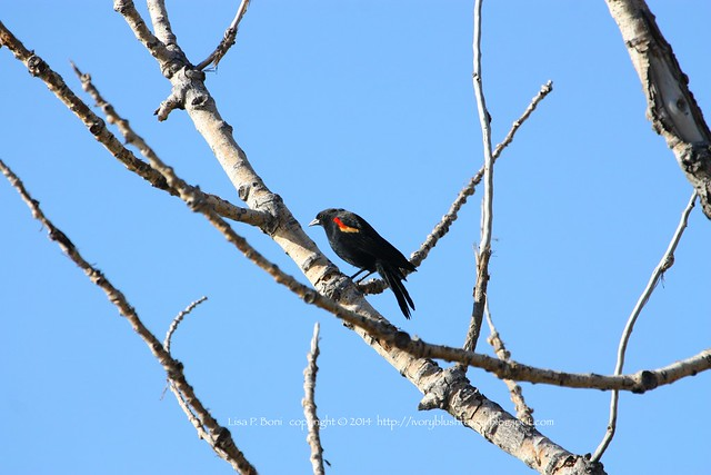 2014.09.25RedwingBlackbird