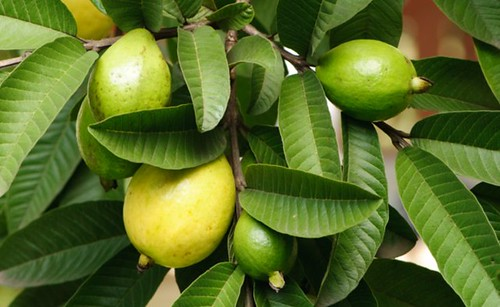 Guava fruit in the tree
