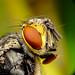 Fly, mosca doméstica by Rui Pará