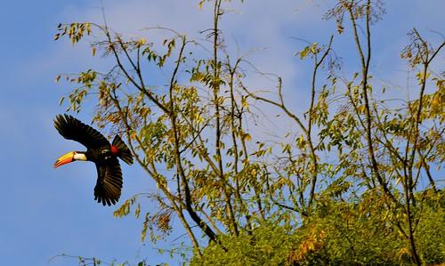 O voo do tucano