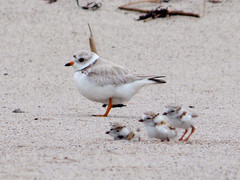 Piping plover and chicks in sand