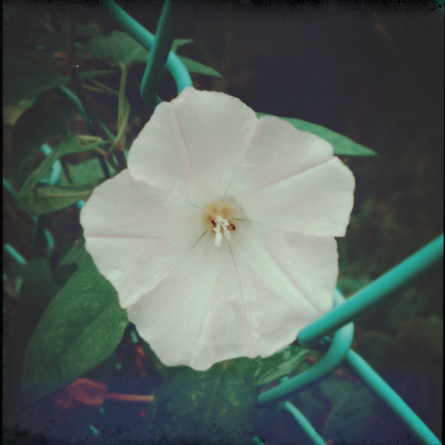 False bindweed