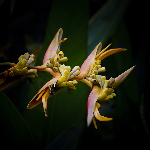 Old heliconia.