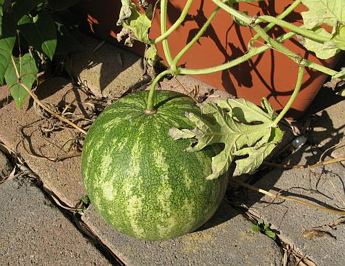 Wassermelone 2008