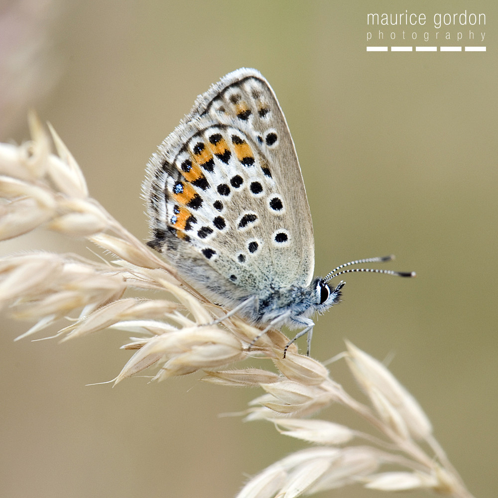 silver-studded-blue-1268