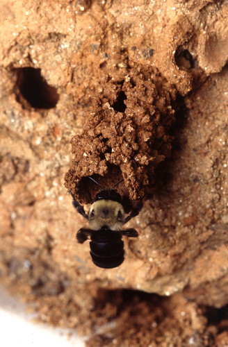 A mustached mud bee, Anthophora abrupta.