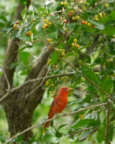 Summer Tanager eating Anacua Berries
