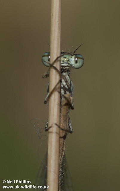 common blue damselfly-7