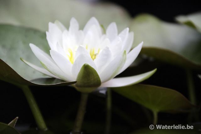 Waterlelie Marliacea Albida / Nymphaea Marliacea Albida