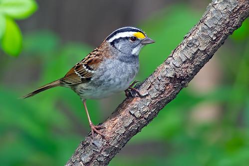 bird birds animals newjersey backyard nikon wildlife 300mm sparrow f4 audubon whitethroatedsparrow zonotrichiaalbicollis birdwatcher backyardbirds nikor tc17eii tc17 d4s audubonnj bkushner ©brianekushner nikon300mmf40dedifafsnikkorlens nikond4s