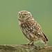 Little Owl by katholdbird