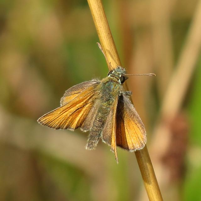 Small Skipper -  Thymelicus sylvestris