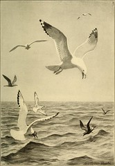 """Image from page 212 of """"Handbook of birds of eastern North America; with introductory chapters on the study of birds in nature"""" (1912)"""