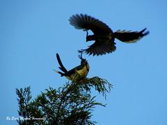 Urracas / White-throated Magpie-Jay 'Calocitta formosa'
