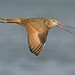 Marbled Godwit by Don Delaney