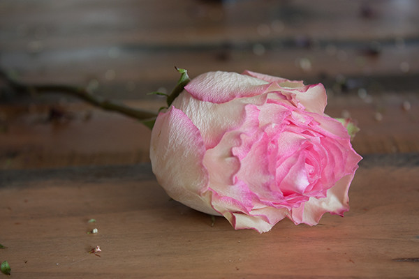 esperanza-rose-2