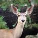 Flagstaff 2014 - Mule Deer Doe 03
