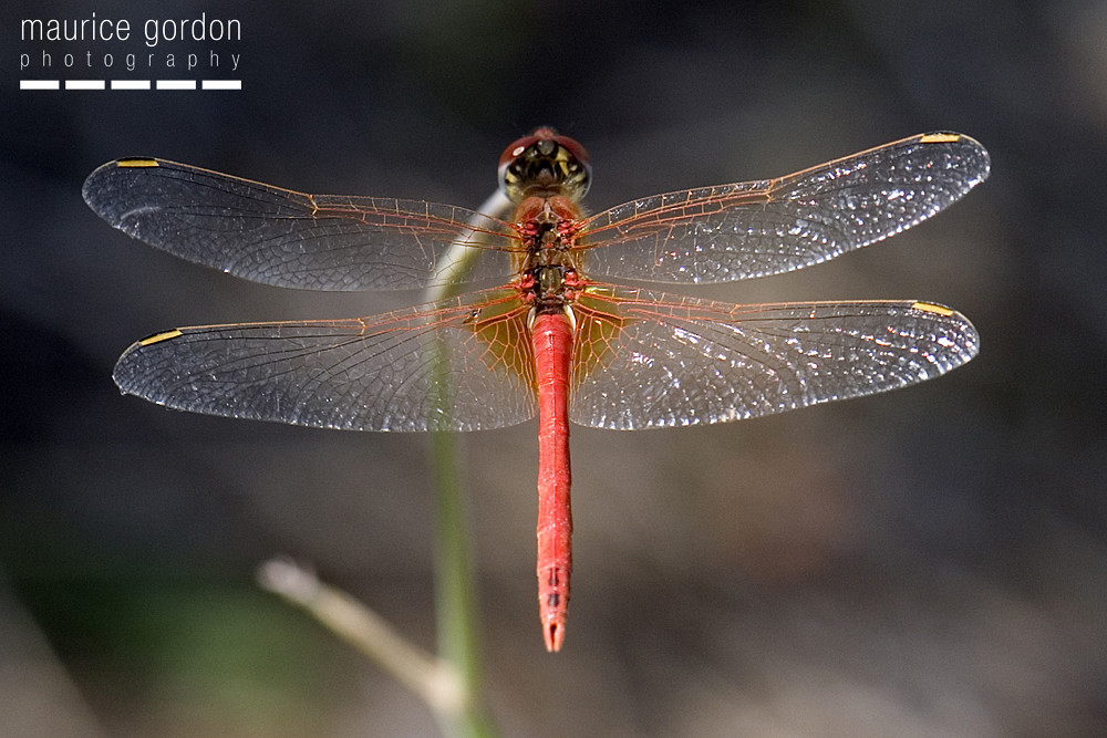 red-veined-darter1880