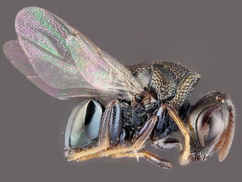 Small parasitoid wasp