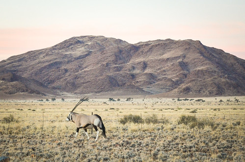 Oryx of the desert