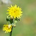 Yellow wild flowers (Crepis) by ciminodelbufalo
