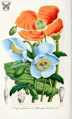 Meconopsis paniculata  [as Meconopsis wallichii] and Papaver pilosum. La Belgique horticole, vol. 4 (1854)