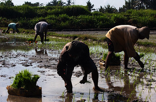Planting rice in Ubud | by marius.stankiewicz