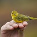 alankrakauer has added a photo to the pool:Yellow warbler caught in mistnet at Toolik Field Station, Alaska August 2014. Warblers were seen around the field station and occasionally caught in mist-nets through the first few days in September.