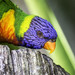 perroquet color guyane ©jcm973