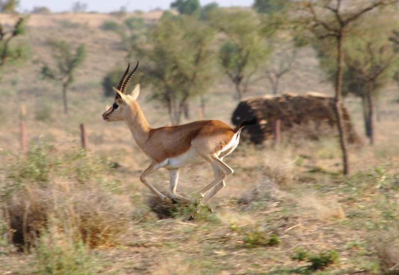 286 Camel safari a Jaisalmer (125)