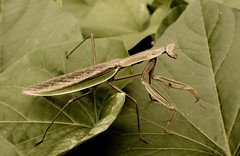 arthropod, animal, cricket-like insect, leaf, wing, invertebrate, macro photography, mantis, grasshopper, fauna, close-up,
