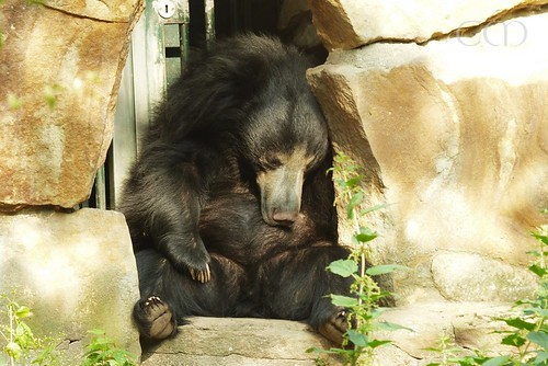 Sleepy sloth bear..:))