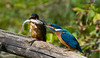 Martin pêcheur d'Europe Alcedo atthis  Common Kingfisher