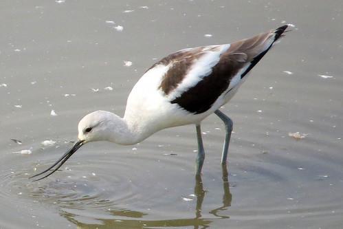bird recurvirostraamericana