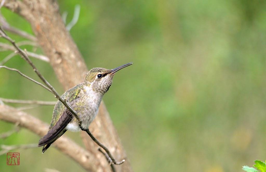 immature Anna's Hummingbird 140614