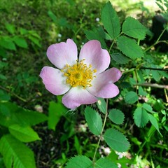 Beautiful wild rose #rose