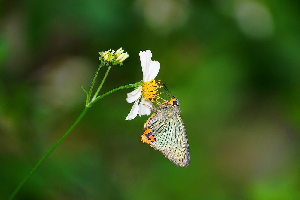 綠弄蝶屬綠弄蝶14S102
