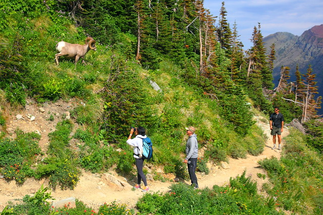 IMG_7355 Bighorn Sheep, Grinnell Glacier Viewpoint Trail