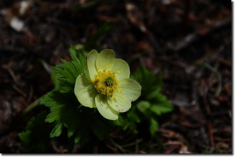 White Globeflower 4
