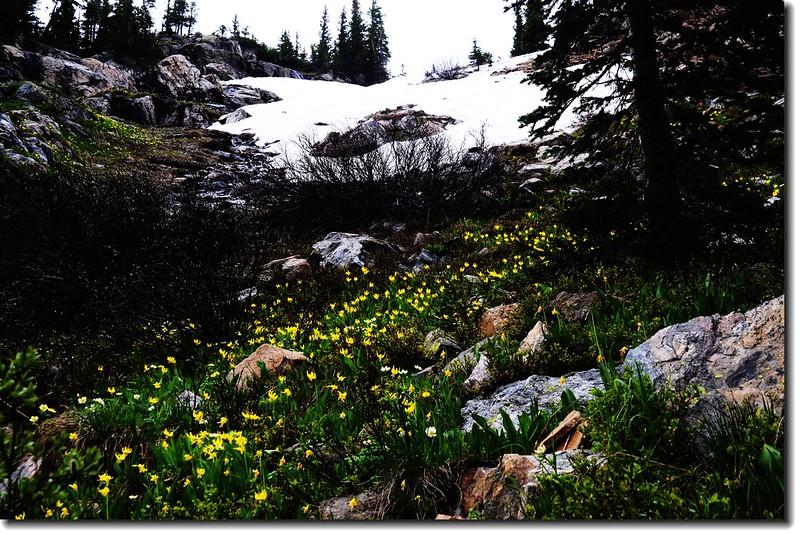 Glacier Lily 12