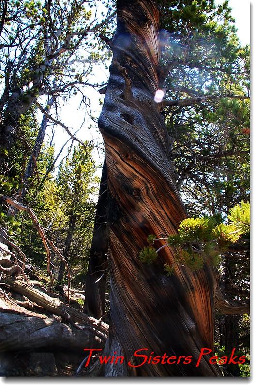 這棵樹受絞刑而死--事實是高山松樹為因應強風而本能的扭曲以增加抗風力。