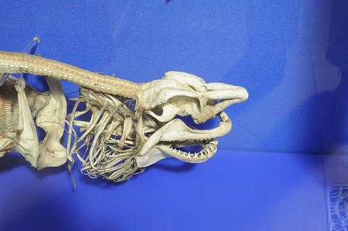 Oxford: Shark Skeleton Detail