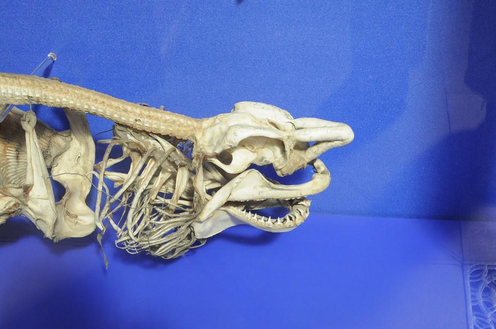 Sharks Skeleton