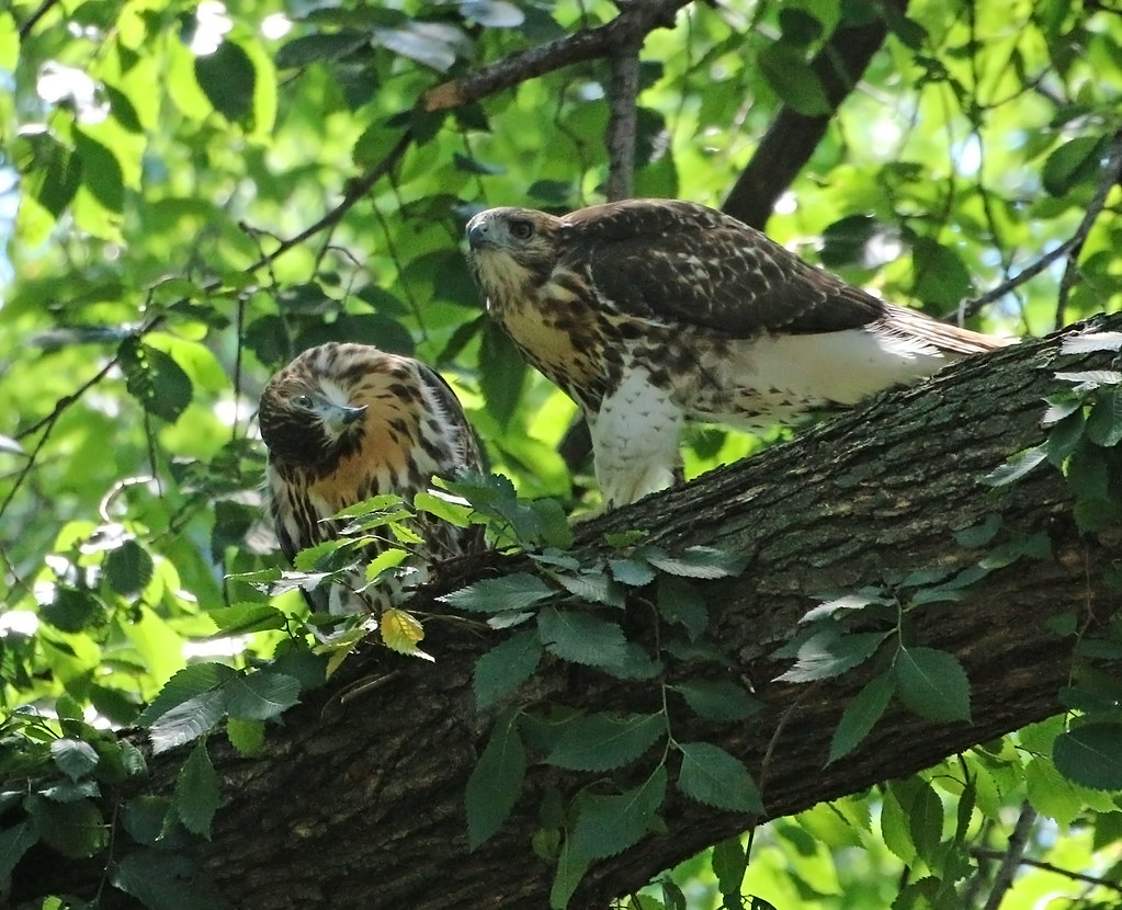 Red tail fledglings