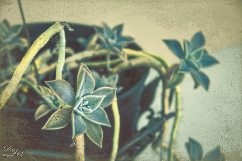 Image of a blue cactus plant in a basket