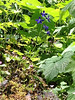 Delphinium menziesii Menzies' larkspur or Delphinium nuttallianum Upland larkspur