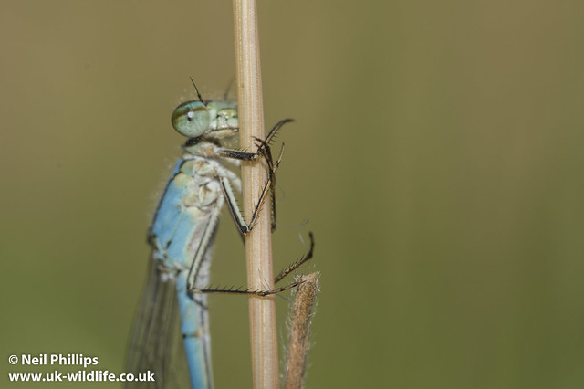 common blue damselfly-8