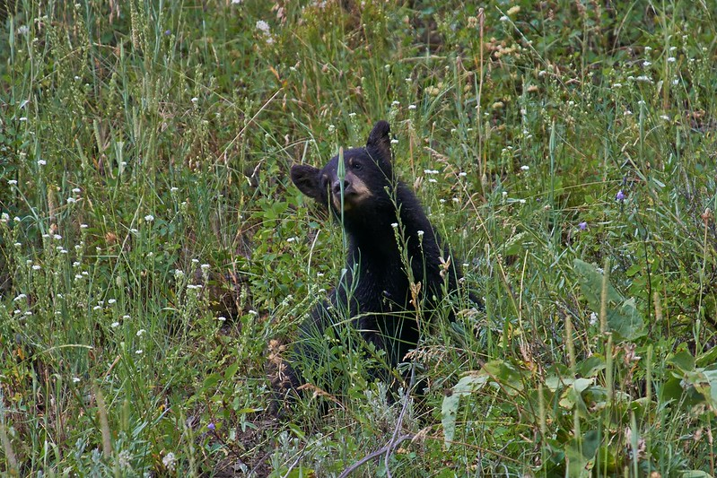 Black Bear Cub - Yellowstone National Park